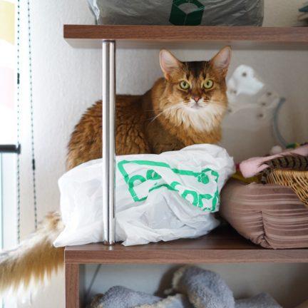 かわいい猫ソマリ